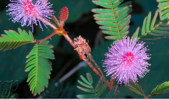 Health benefits of Sensitive plant