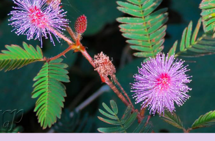 Sensitive plant facts and health benefits