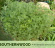 Health benefits of Southernwood
