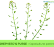 Therapeutic and Traditional Uses Shepherd's purse