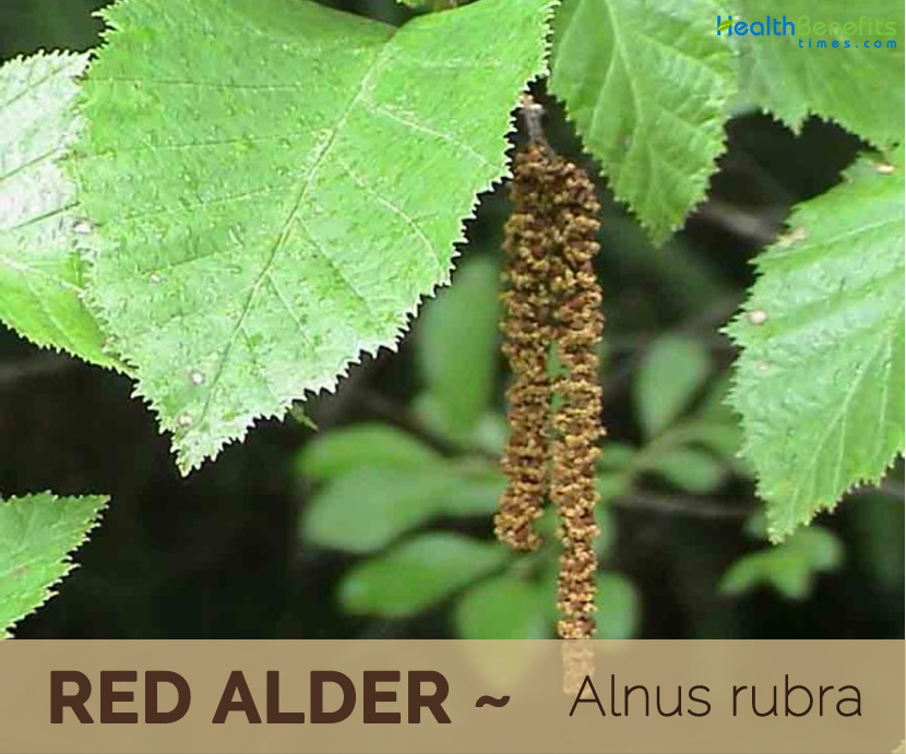 Benefits of Red alder