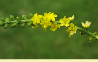Health benefits of Agrimony