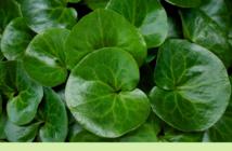 Health benefits of Asarabacca