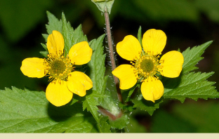 Health benefits of Avens