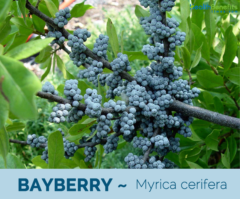 Health benefits of Bayberry