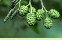 Health benefits of Black Alder (European alder)