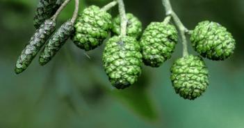 Health benefits of Black Alder (European alder)