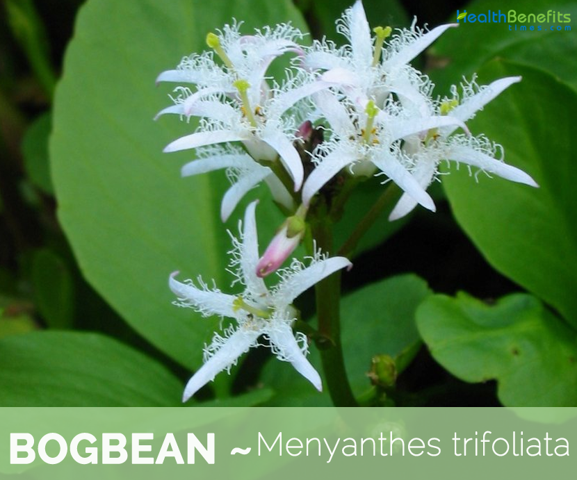 Health benefits of Bogbean (buckbean)