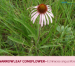 Health-benefits-of-Narrowleaf-Coneflower