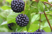 Health benefits of Siberian Ginseng