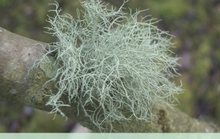 Health benefits of Usnea