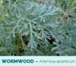 9 Health benefits of Wormwood