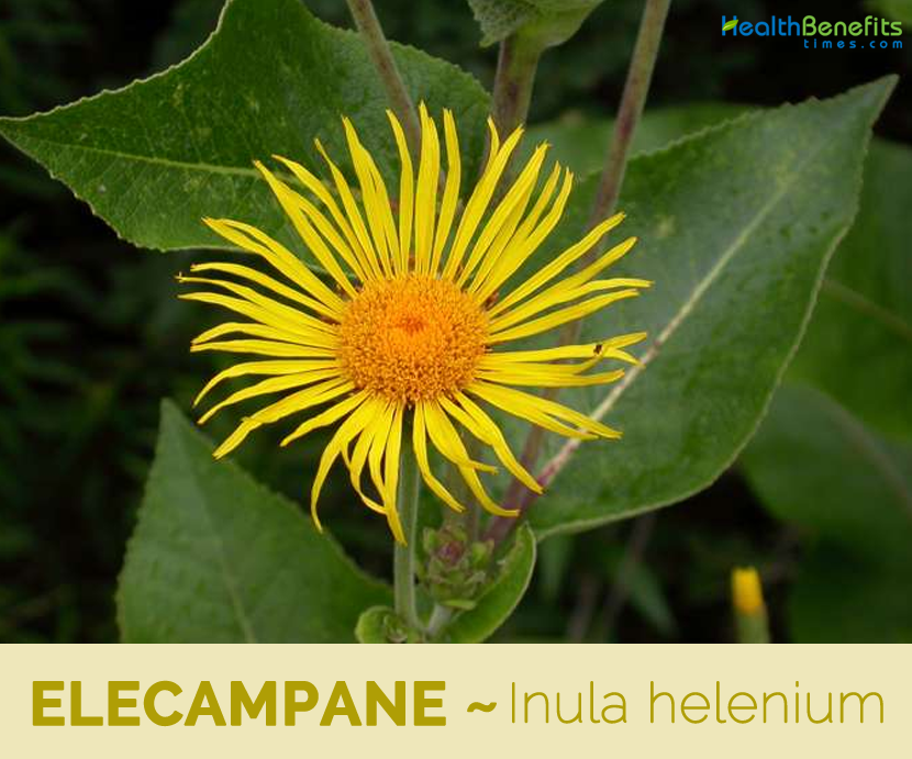 12 Health benefits of Elecampane
