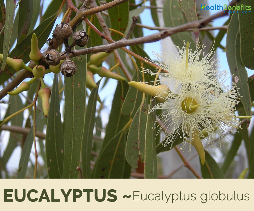 Eucalyptus facts and benefits