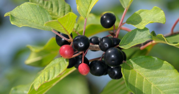 Facts and Uses of Alder buckthorn