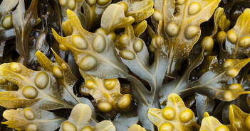 Facts and benefits of Bladder Wrack