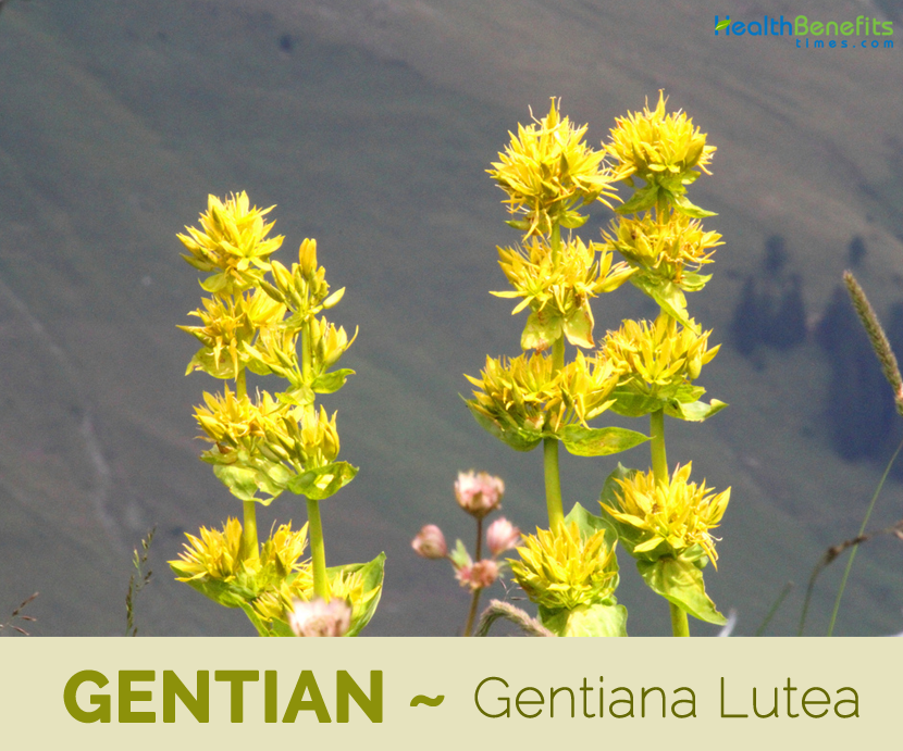 Facts and benefits of Gentian