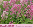 Facts and benefits of Gravel Root