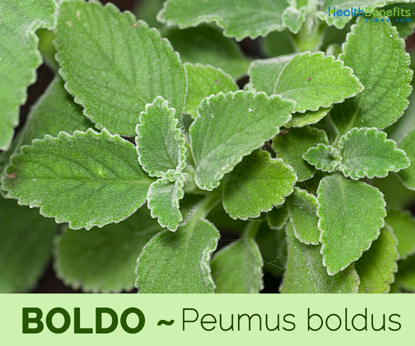 Health benefits of Boldo