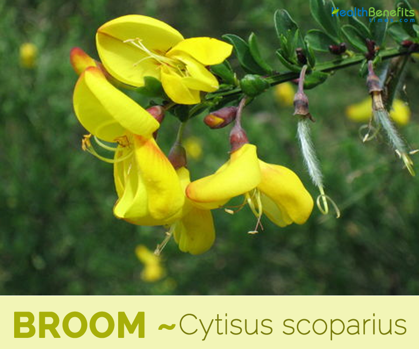 Health benefits of Broom