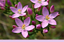 Health benefits of Centaury