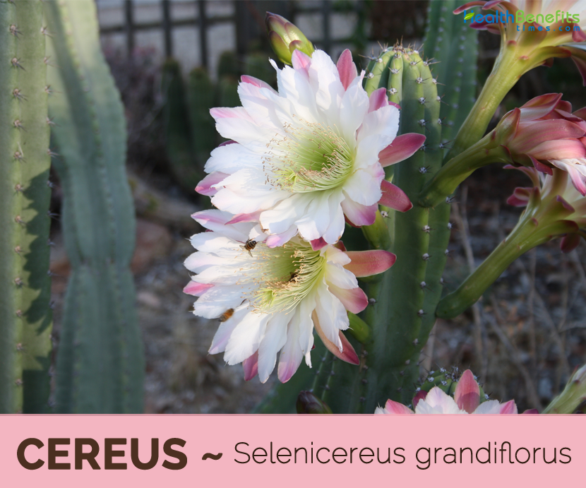 Health benefits of Cereus