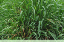 Health benefits of Couch Grass