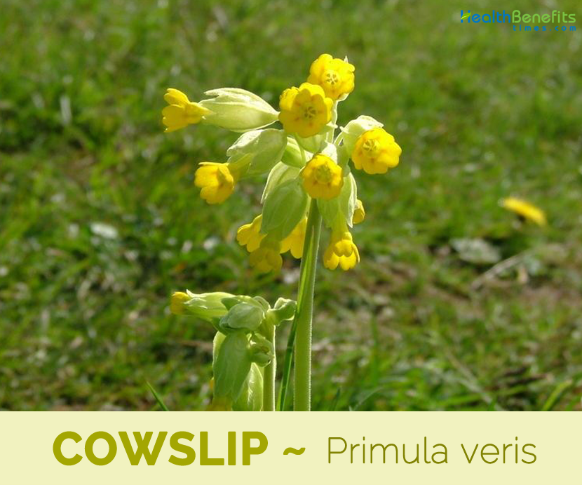 Health benefits of Cowslip