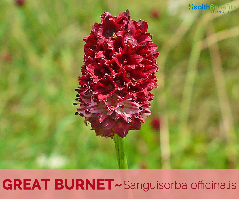 Health benefits of Great Burnet