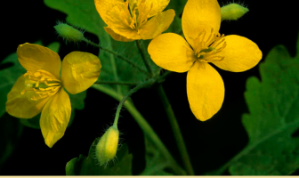 Health benefits of Greater celandine