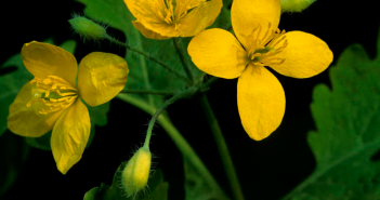 Health benefits of Greater celandine