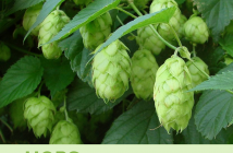 Health benefits of Hops