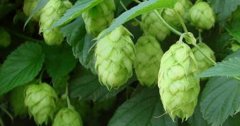 Health benefits of Hops