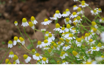 Health benefits of Roman Chamomile