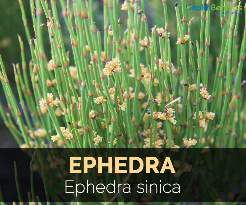 Ephedra Facts and Health Benefits