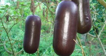 Facts about Musk Cucumber (Cassabanana)