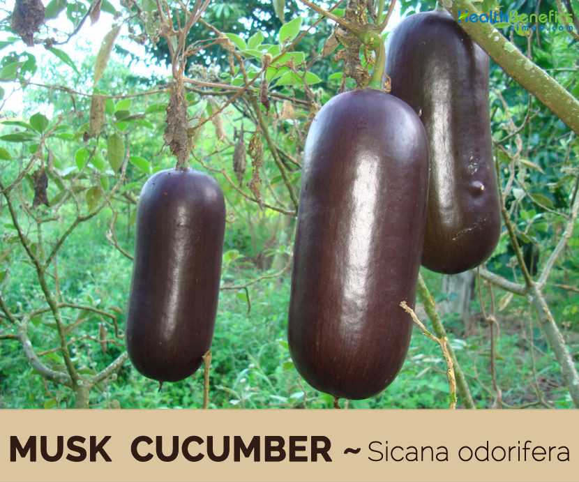 Facts about Musk Cucumber (Cassabanana)