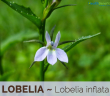 Facts and benefits of Lobelia