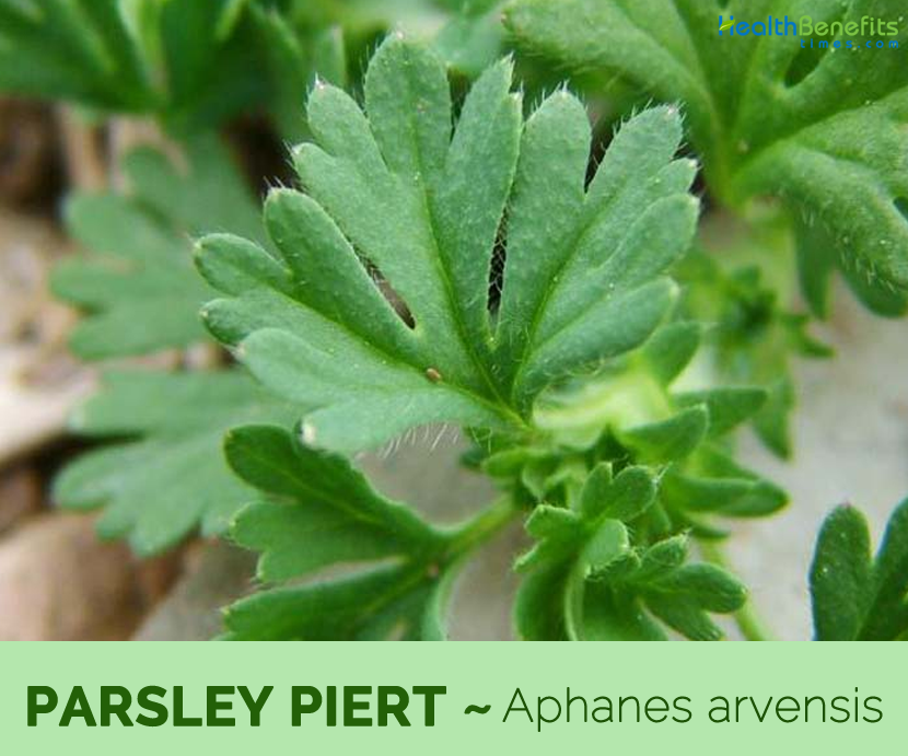 Facts and benefits of Parsley Piert