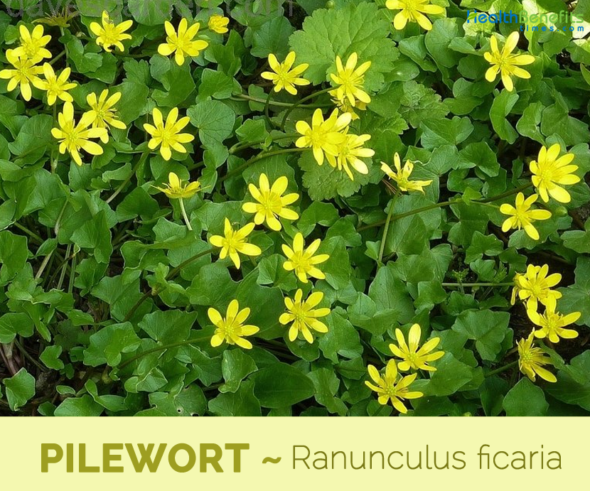 Facts and benefits of Pilewort