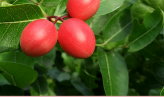 Health benefits of Carissa (natal plum)