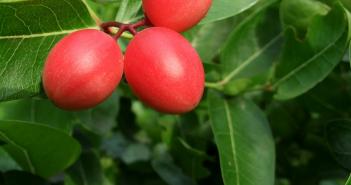 Health benefits of Carissa (natal plum)