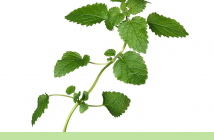 Health benefits of Lemon balm