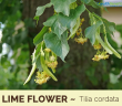 Health benefits of Lime Flower