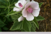 Health benefits of Marsh mallow
