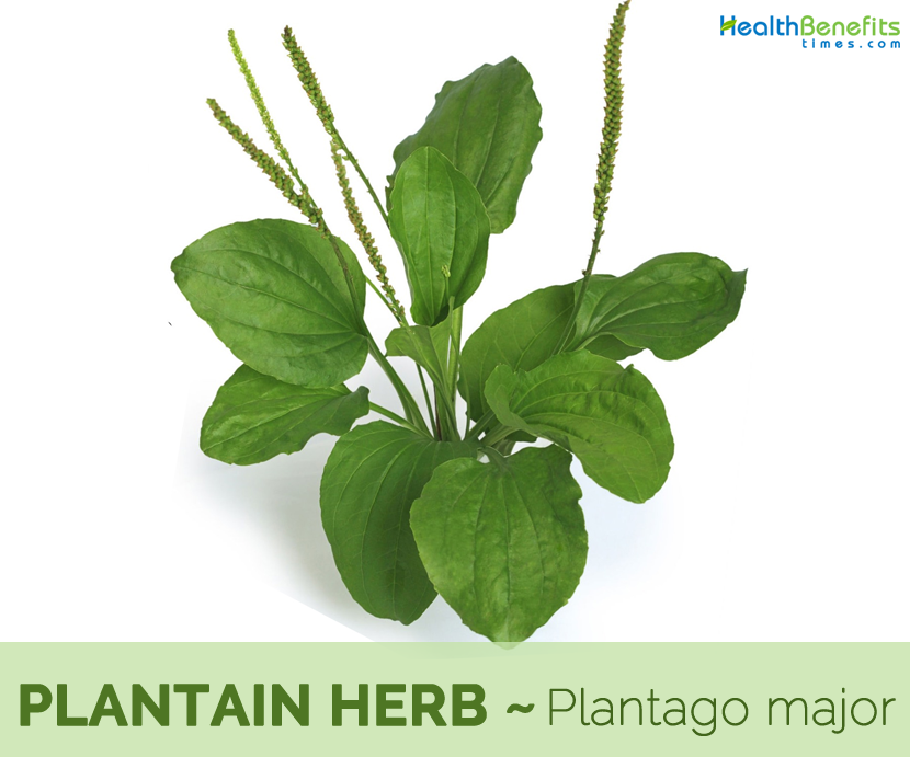 Health benefits of Plantain herb