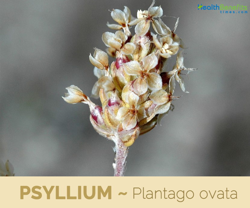 Health benefits of Psyllium