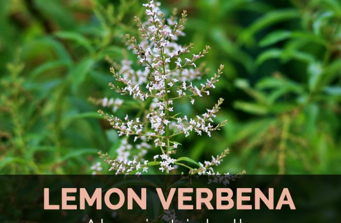 Lemon Verbena Facts And Health Benefits