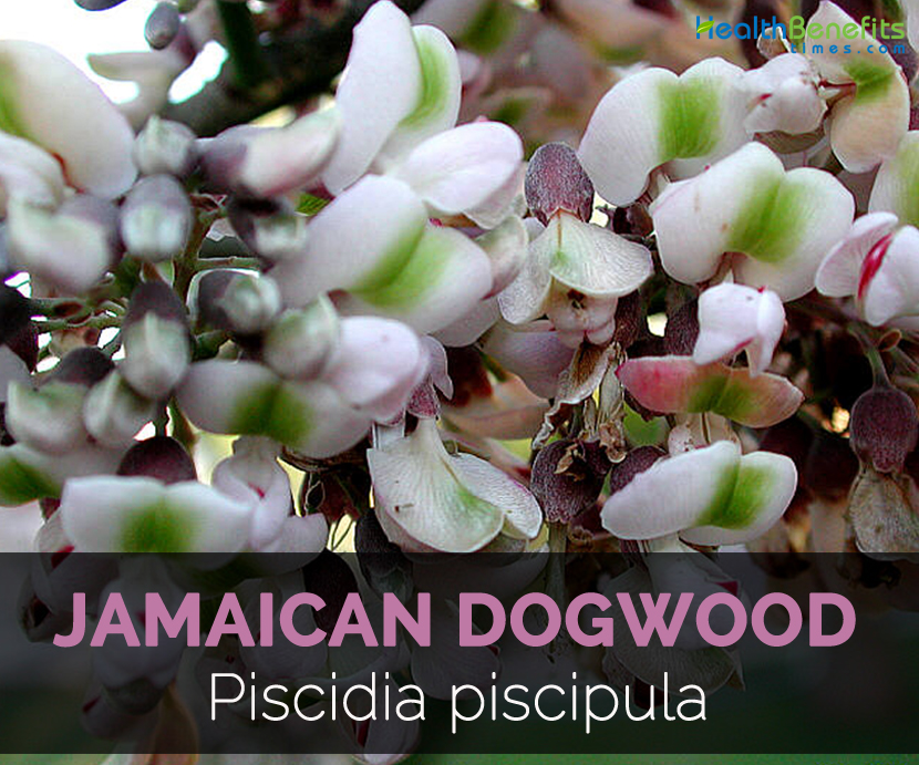 Jamaican Dogwood Facts And Health Benefits