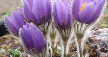 Facts and benefits of Pasque Flower